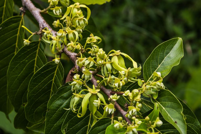 Ylang-Ylang flowers on tree, for manufacture of essential oil in Nosy Be, Madagascar