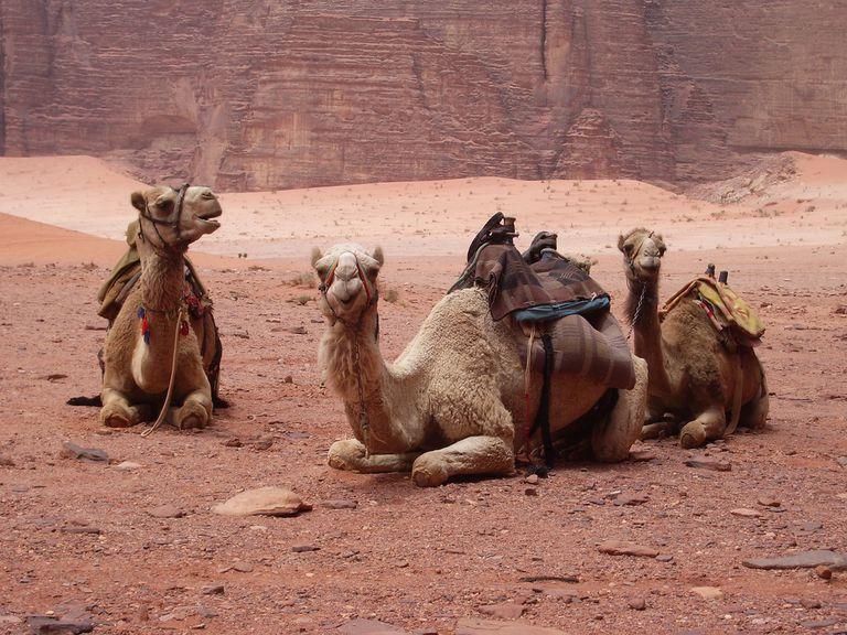 Dromedaries, Wadi Rum, Jordan