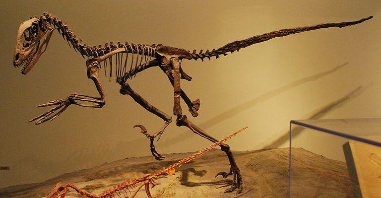 Deinonychus skeleton on display.