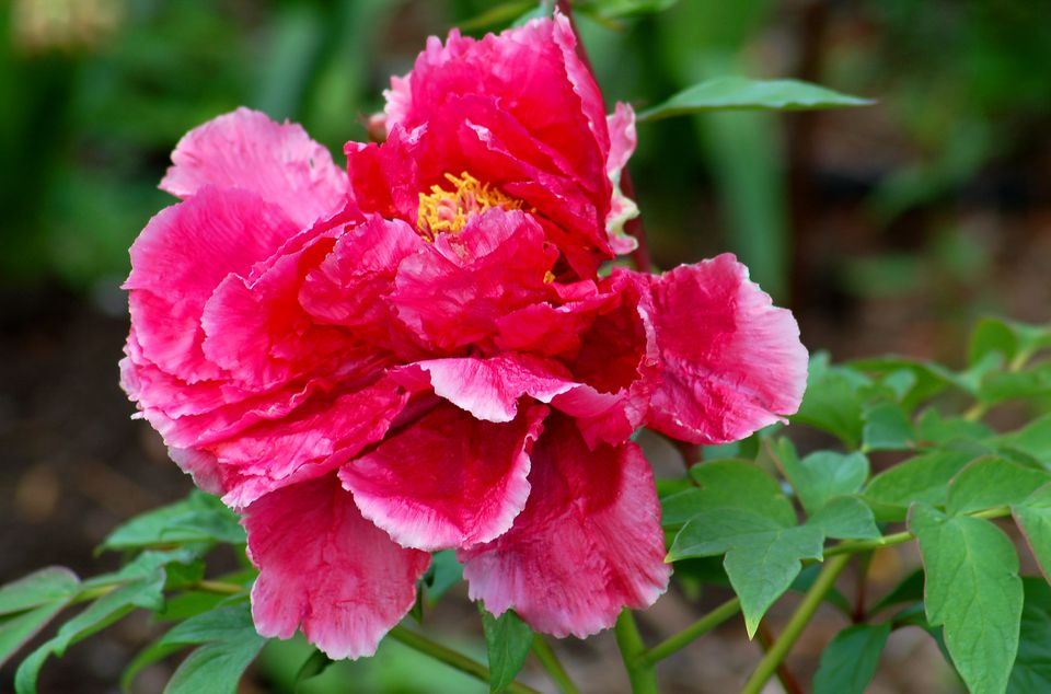 Tree peony (image) has an impressive flower (pink here). It's just as magnificent as lactiflora's.