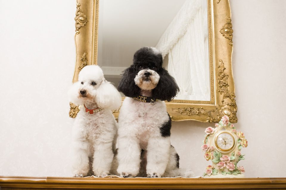 Poodles by Mirror