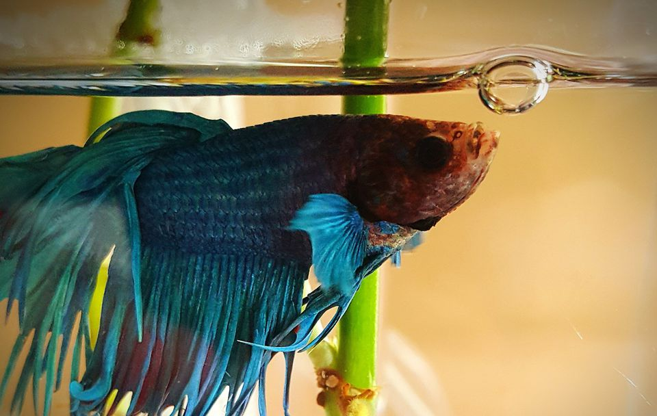Close-Up Of Siamese Fighting Fish In Tank