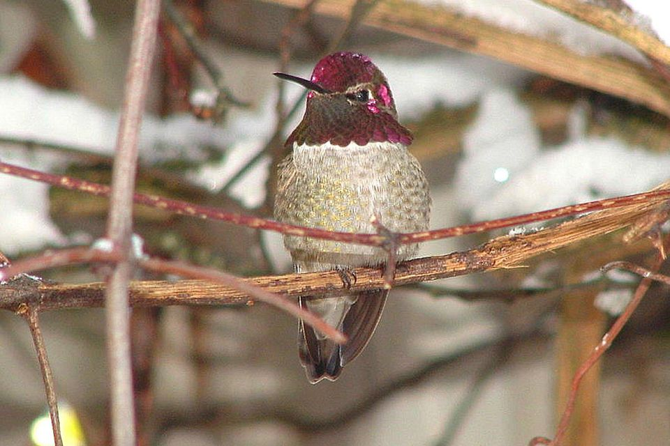 Anna's Hummingbird in Winter