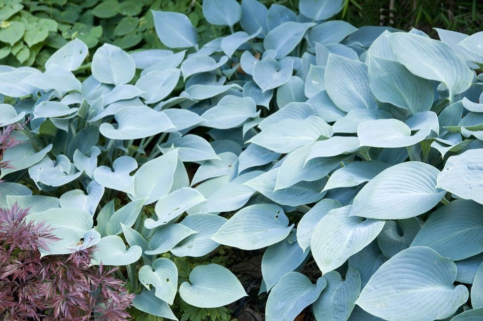 Hosta Plants Varieties By Color Care Slug Control