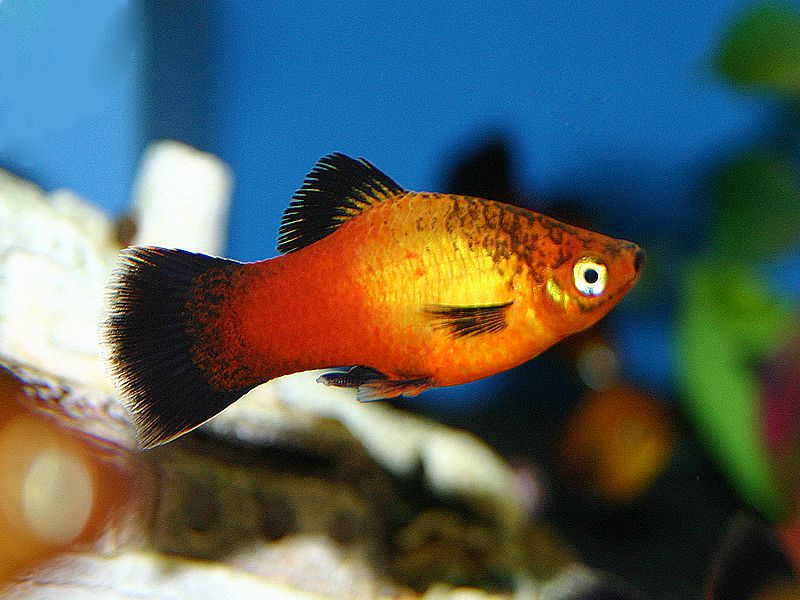 The ttrue history of the Wagtail Platy