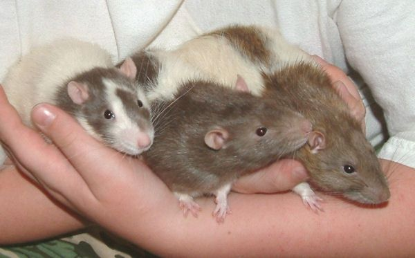 Pet Rats Loki, Ventura, and Ace