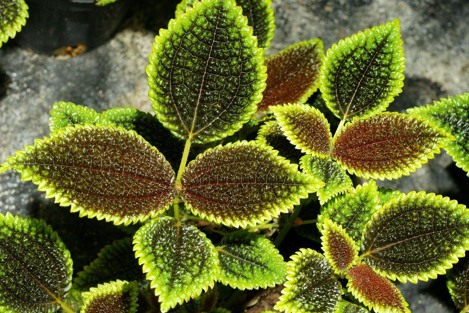 Houseplants pilea growing tips for Plante pilea