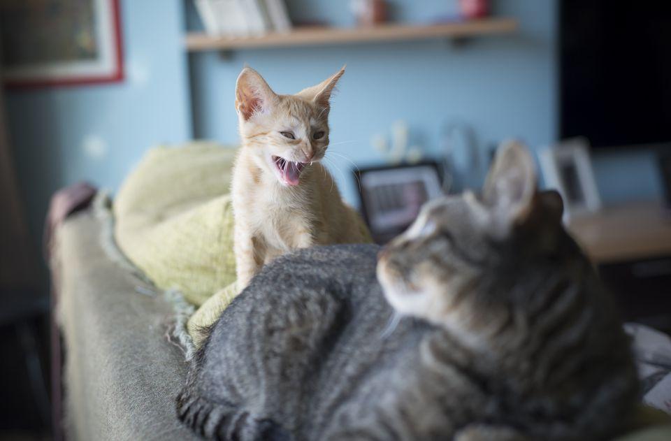 Aggressive house cats