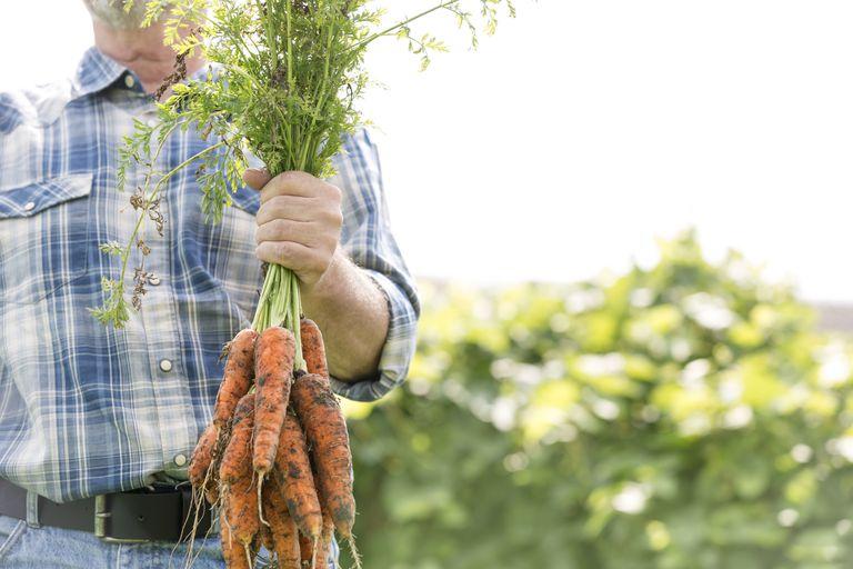 Famer holding carrots