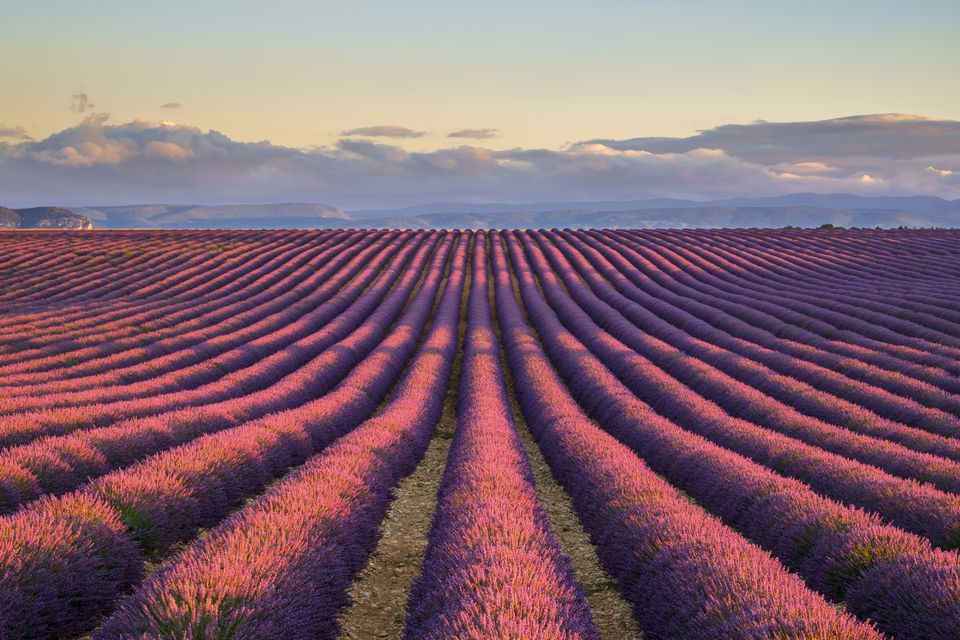 Rows of purple lavender in height of bloom in early July in a field on the Plateau de Valensole at sunrise