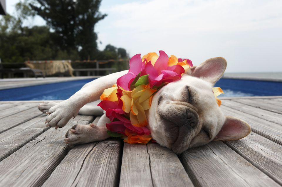 French Bulldog Hawaii