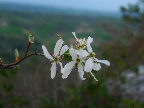 Downy Serviceberry picture
