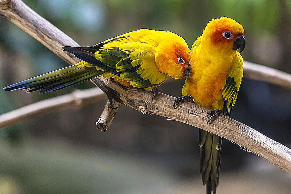 A pair of Jenday Conures on a branch
