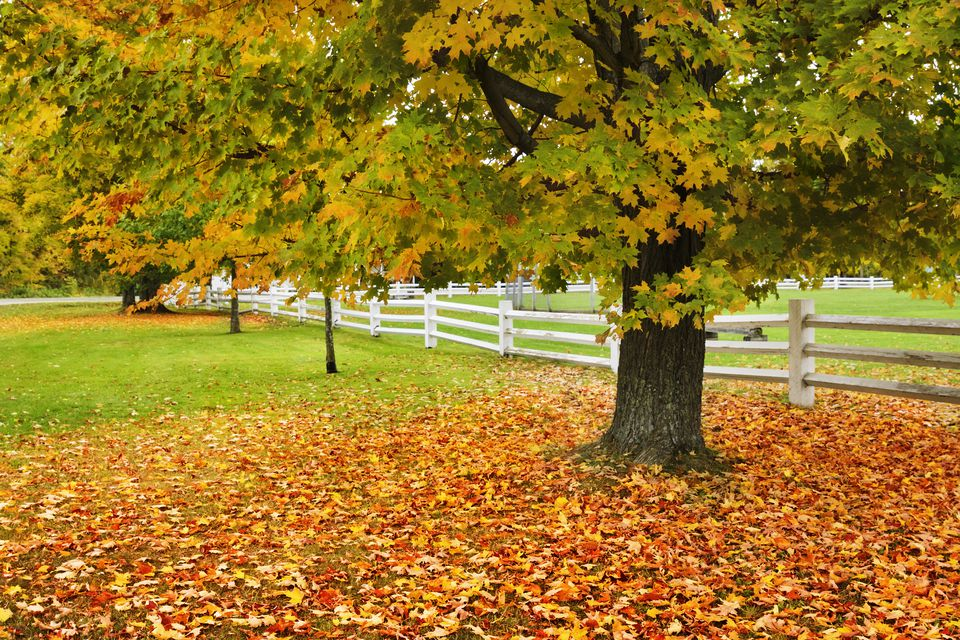 Sugar maple tree with leaves on ground and white fence in background.