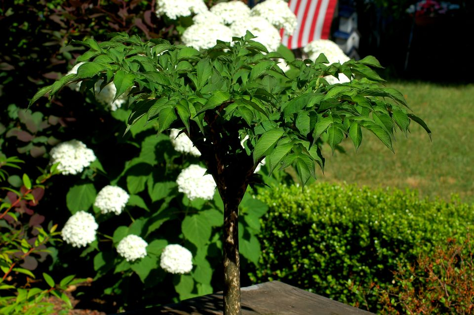 Above-ground vegetation of snake lily, with white hydrangeas behind.