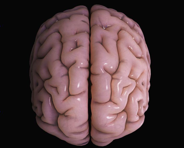 Brain Anatomy Cerebral Cortex Function