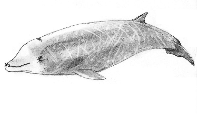 Drawing of a Cuvier's Beaked Whale