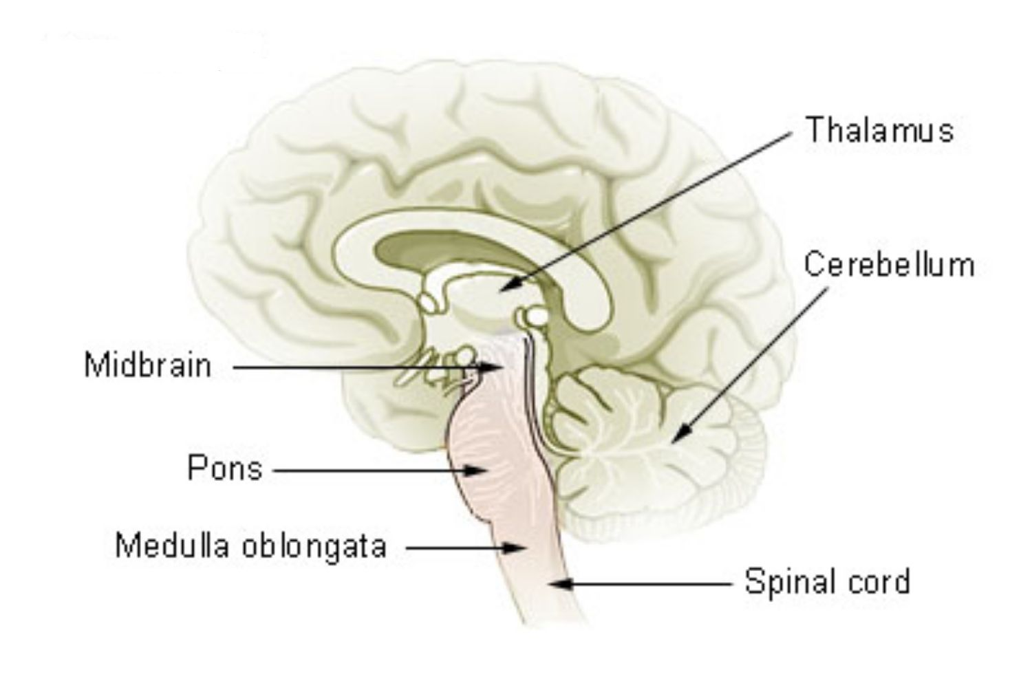 Mesencephalon - Midbrain Function and Structures
