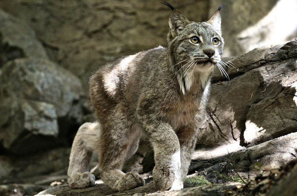 The Montreal Biodome features thousands of plants and animals from the Americas, including the lynx (above).
