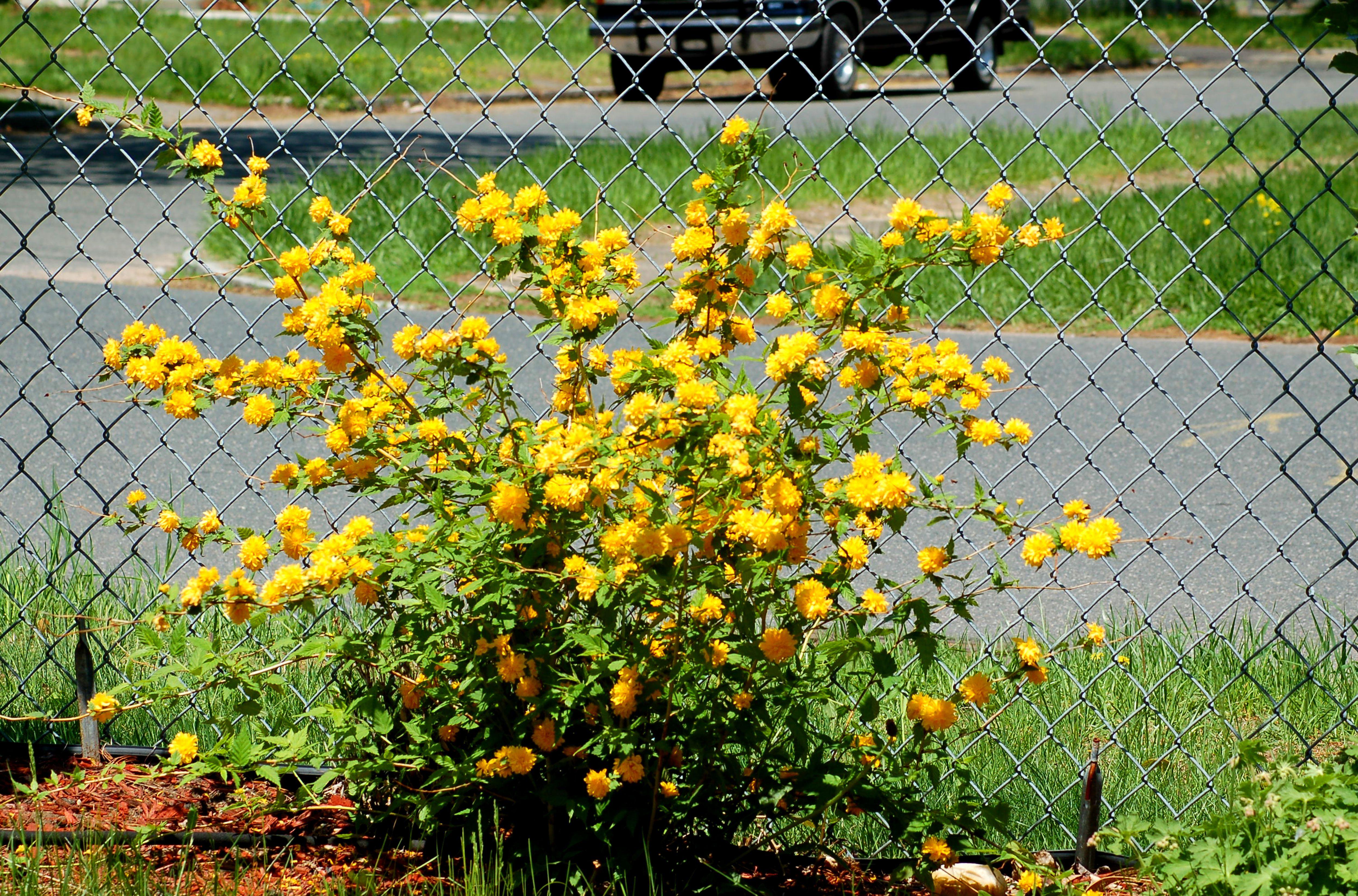 Best shrubs for full sun and privacy - Japanese Rose S Kelly Green Bark Provides Winter Interest