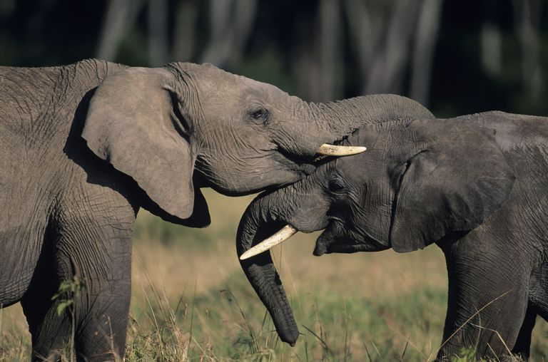 Two African elephants standing face to face