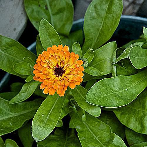 container gardening picture of calendual officinalis