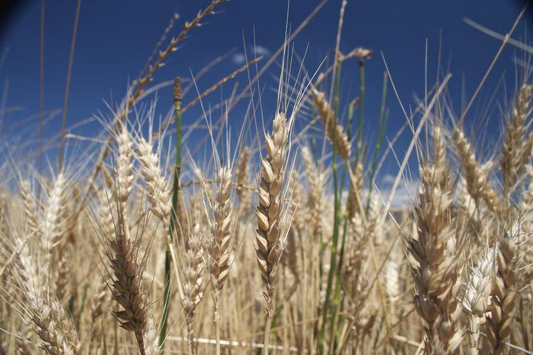 wheat-field-by-Elias-Gayles.jpg
