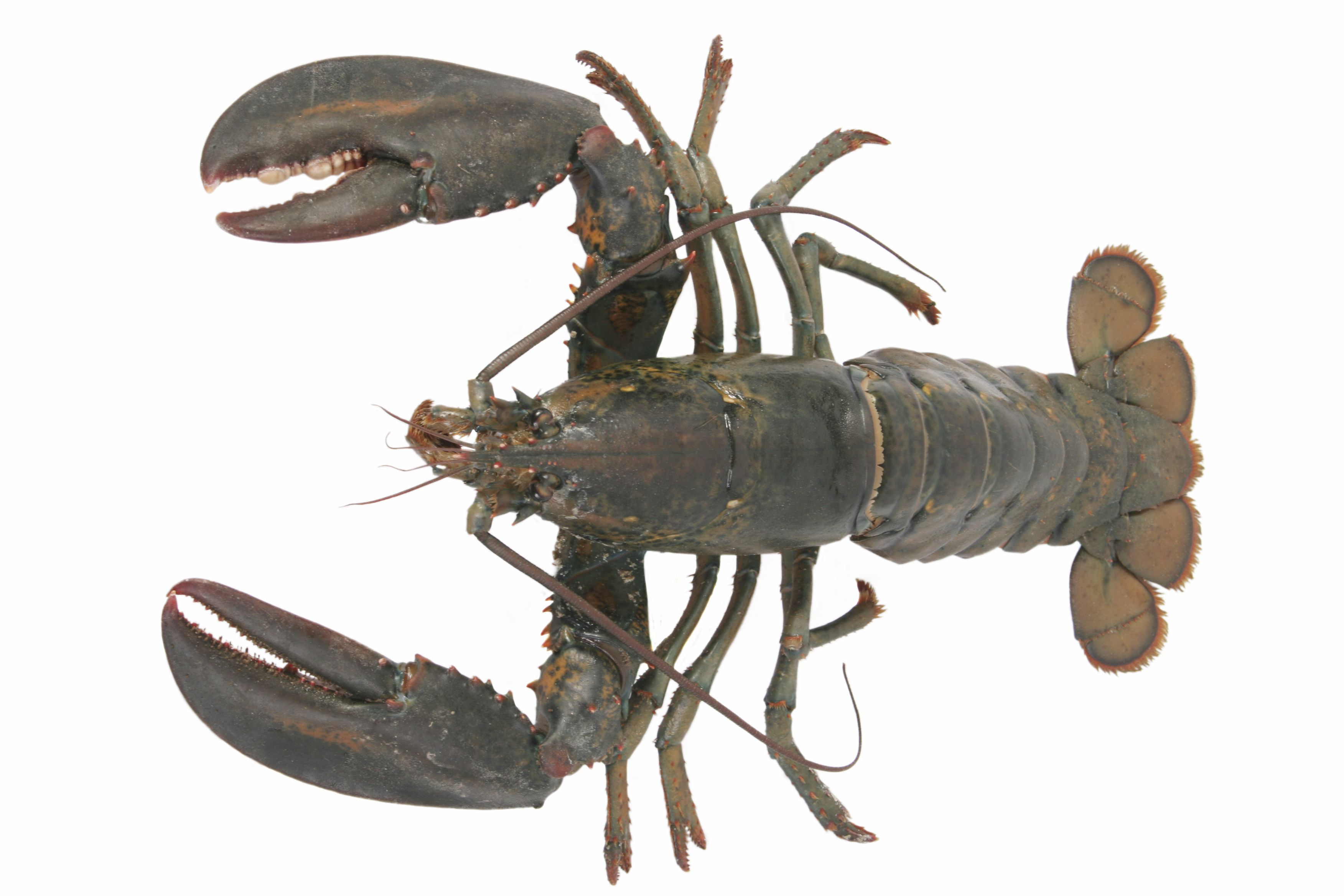 American Lobster Facts