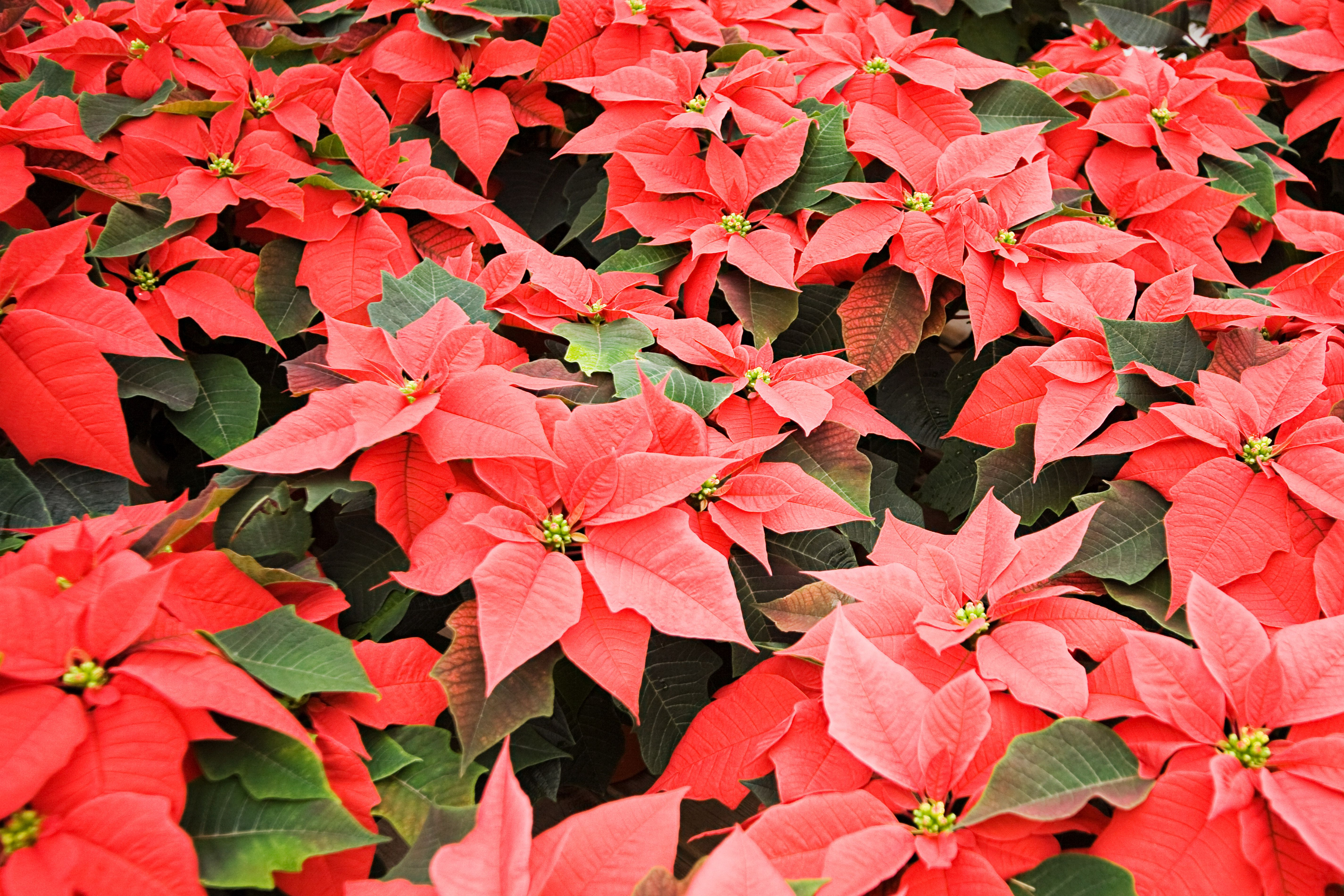 caring for holiday poinsettia plants