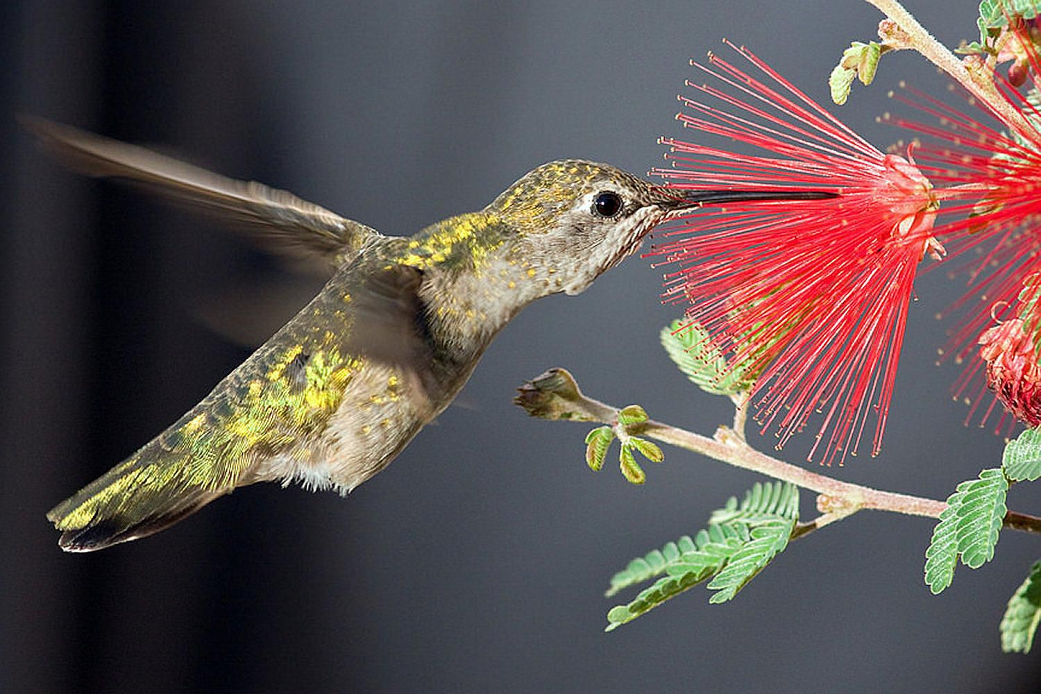 25 crazy facts about hummingbirds