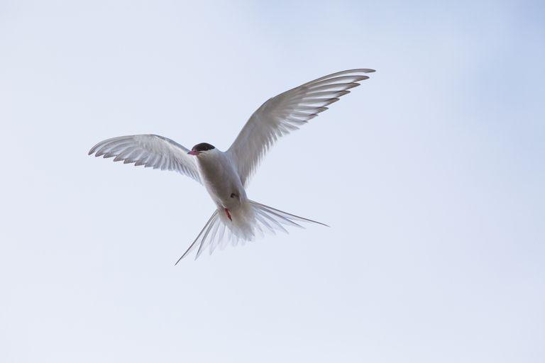 Seagull in air