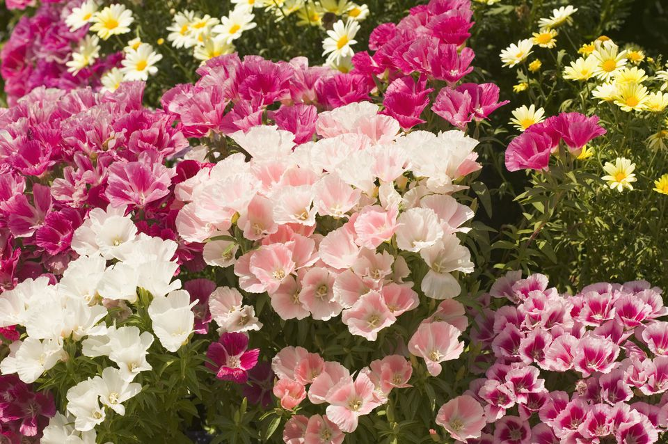 Clarkia flower