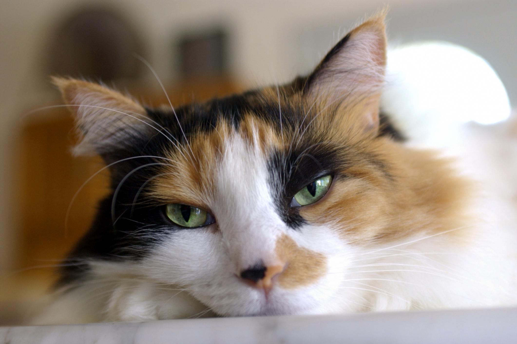 about tortoiseshell cats u0027 history and markings