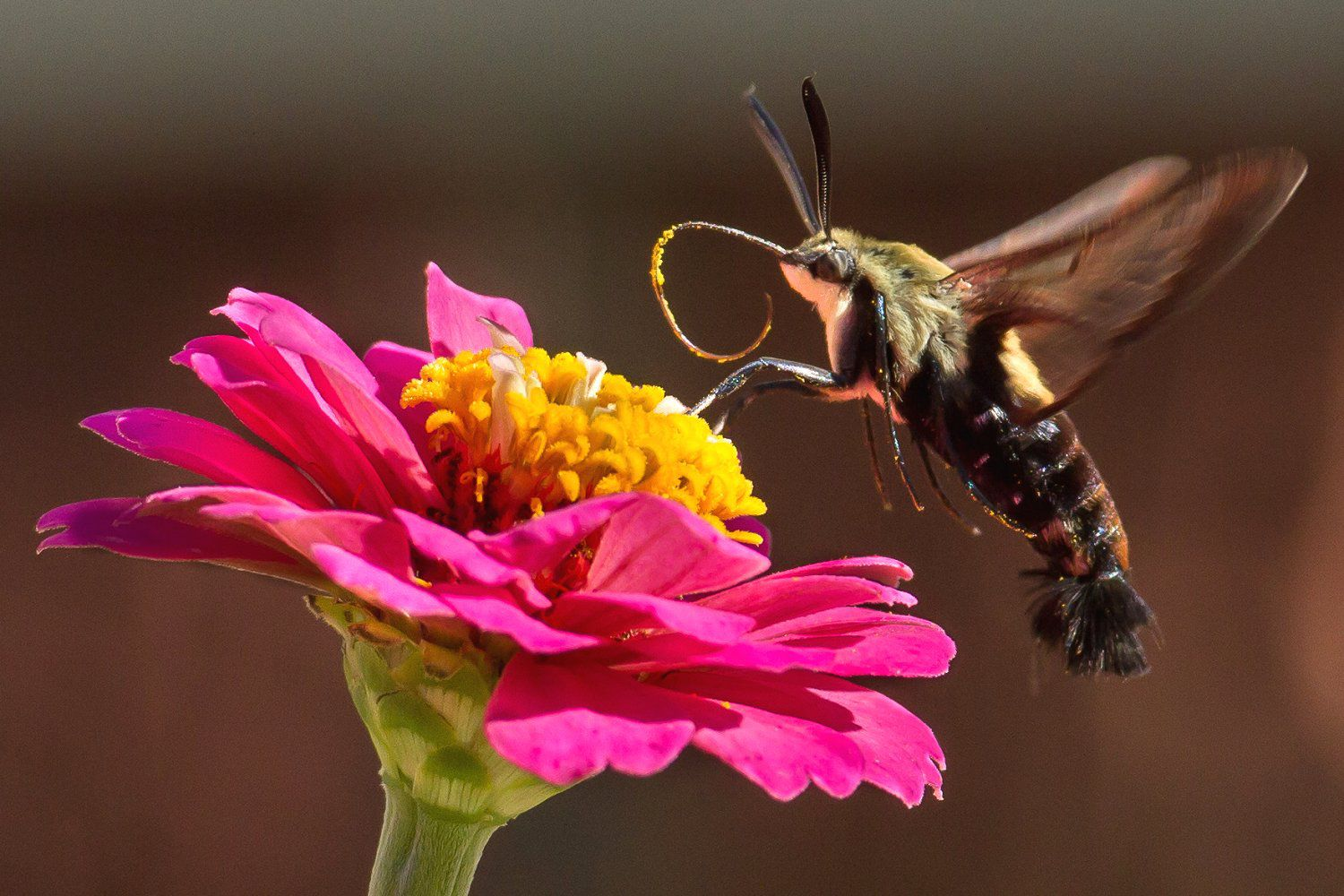 Hummingbird Moths Are Imposters