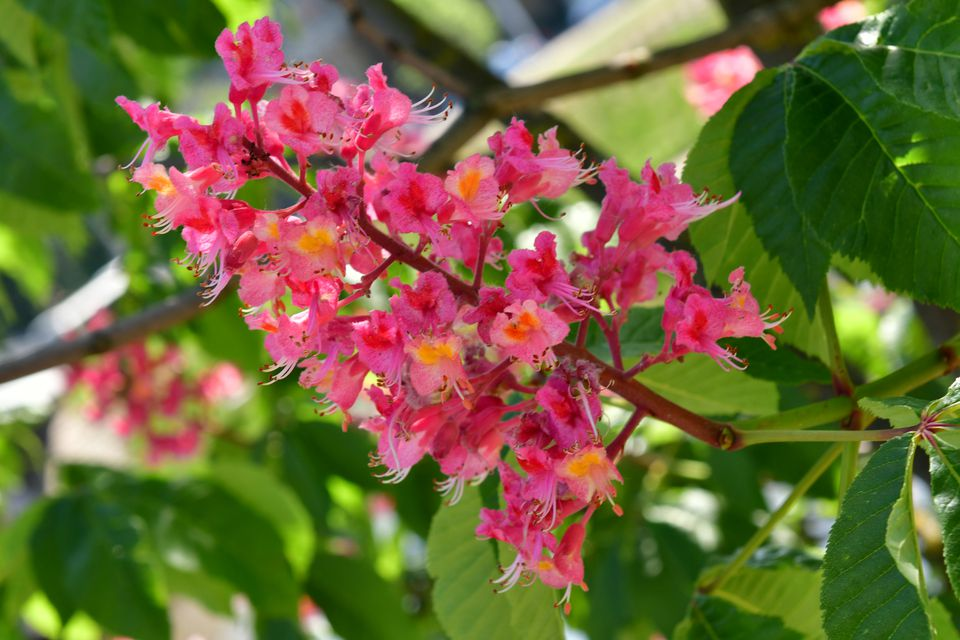 Try a flowering tree in your yard for visual impact flower of the red horse chestnut tree mightylinksfo