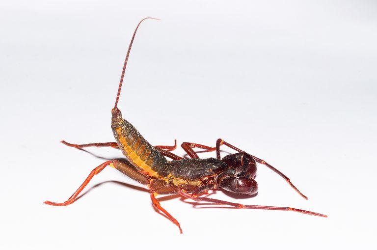 Whipscorpion.