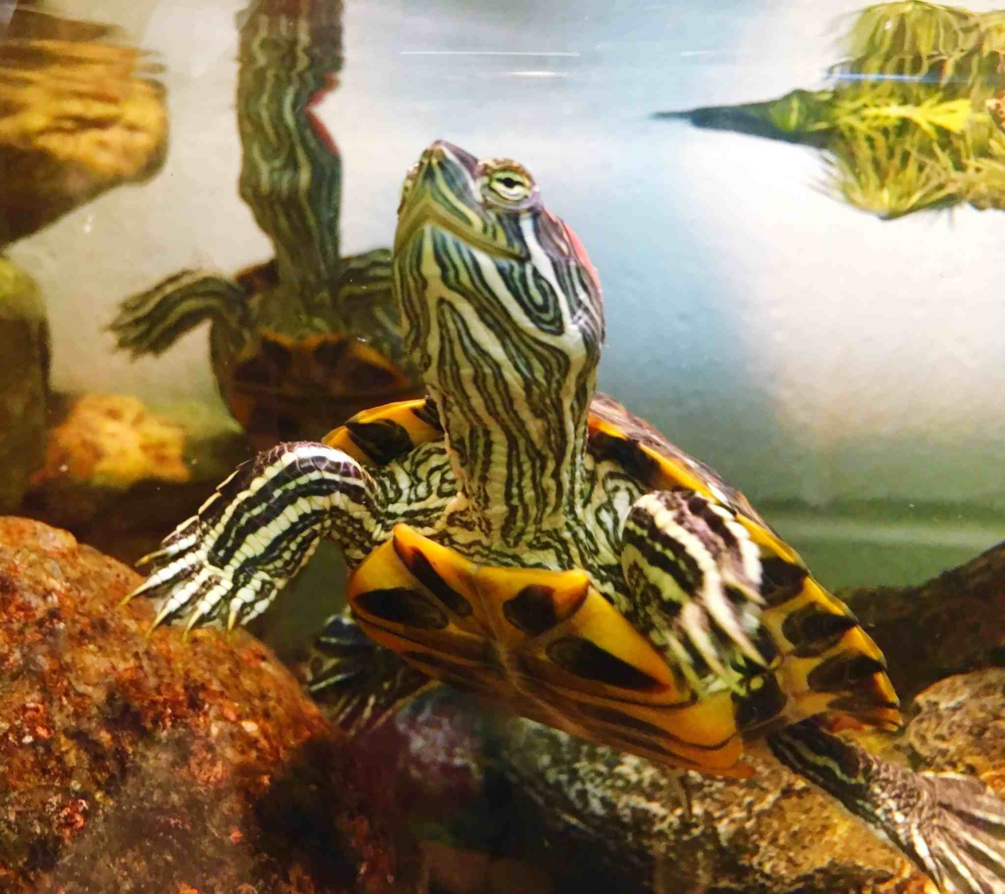 5 Facts About Red Eared Slider Turtles