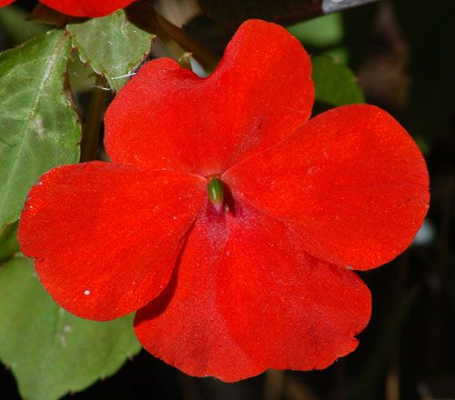 Red impatiens photo. These shade-loving annuals come in numerous other colors.