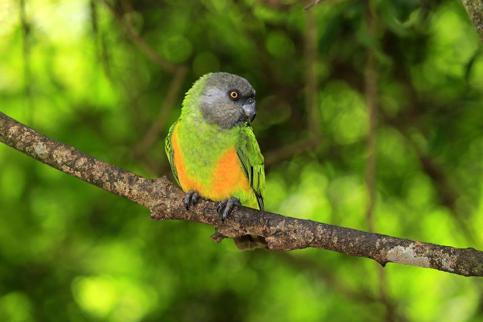 Senegal Parrots Are Striking Little Birds
