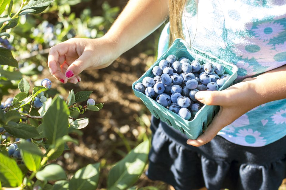how to plant and grow blueberries