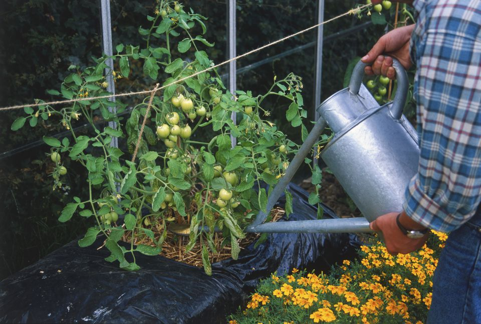 Man using a metal water can to water tomatoes growing in a straw bale contained in a black plastic bag. The tomatoes growing are green and unripe.