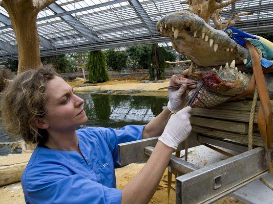 zoo vet operating on crocodile