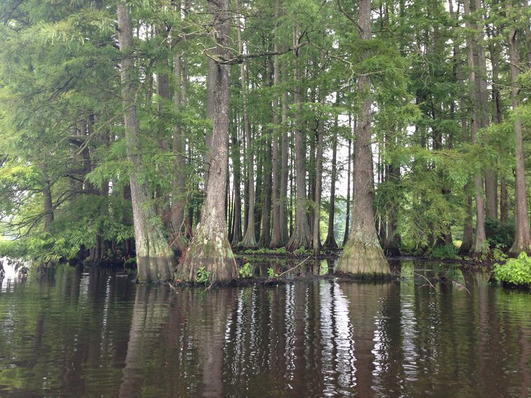 baldcypress trees