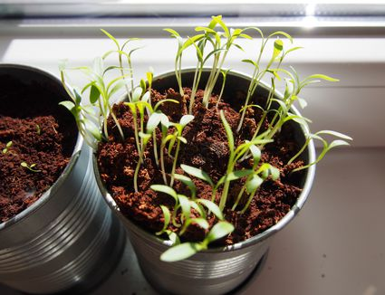 Starting Garden Plants Indoors Common mistakes made while growing seeds indoors 6 tips for successfully starting seeds indoors container gardening tips workwithnaturefo