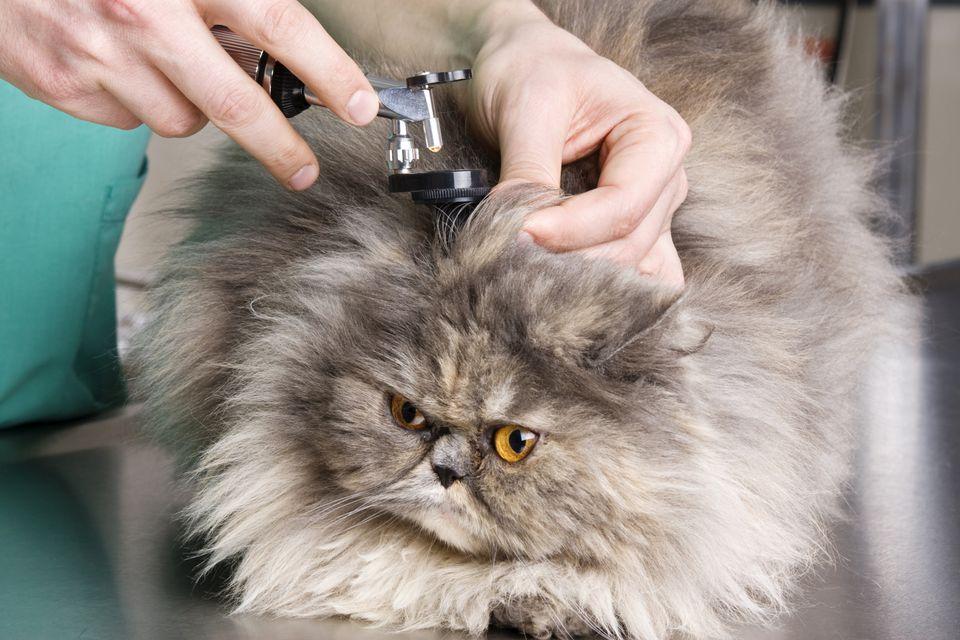 Cat Ear Exam