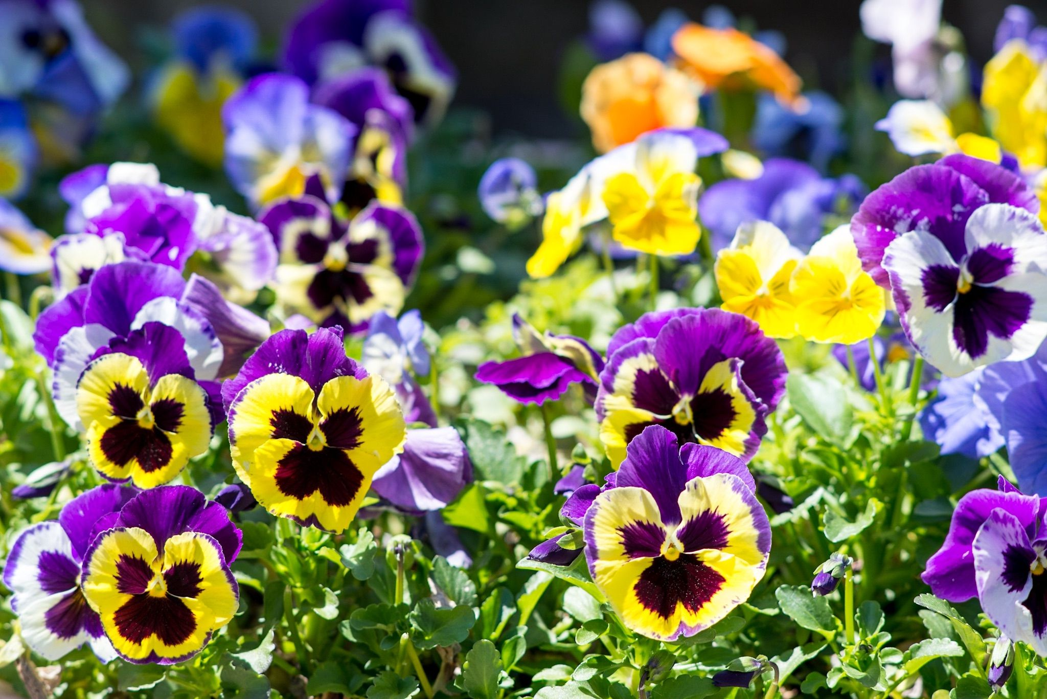 Best Flowers For Early Spring Flowers For All