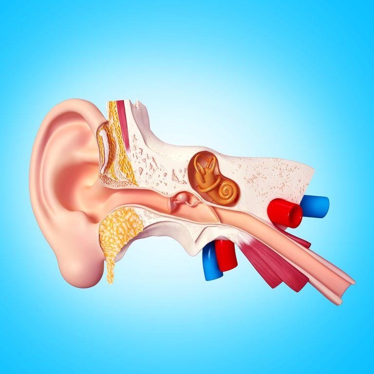 Illustration of ear