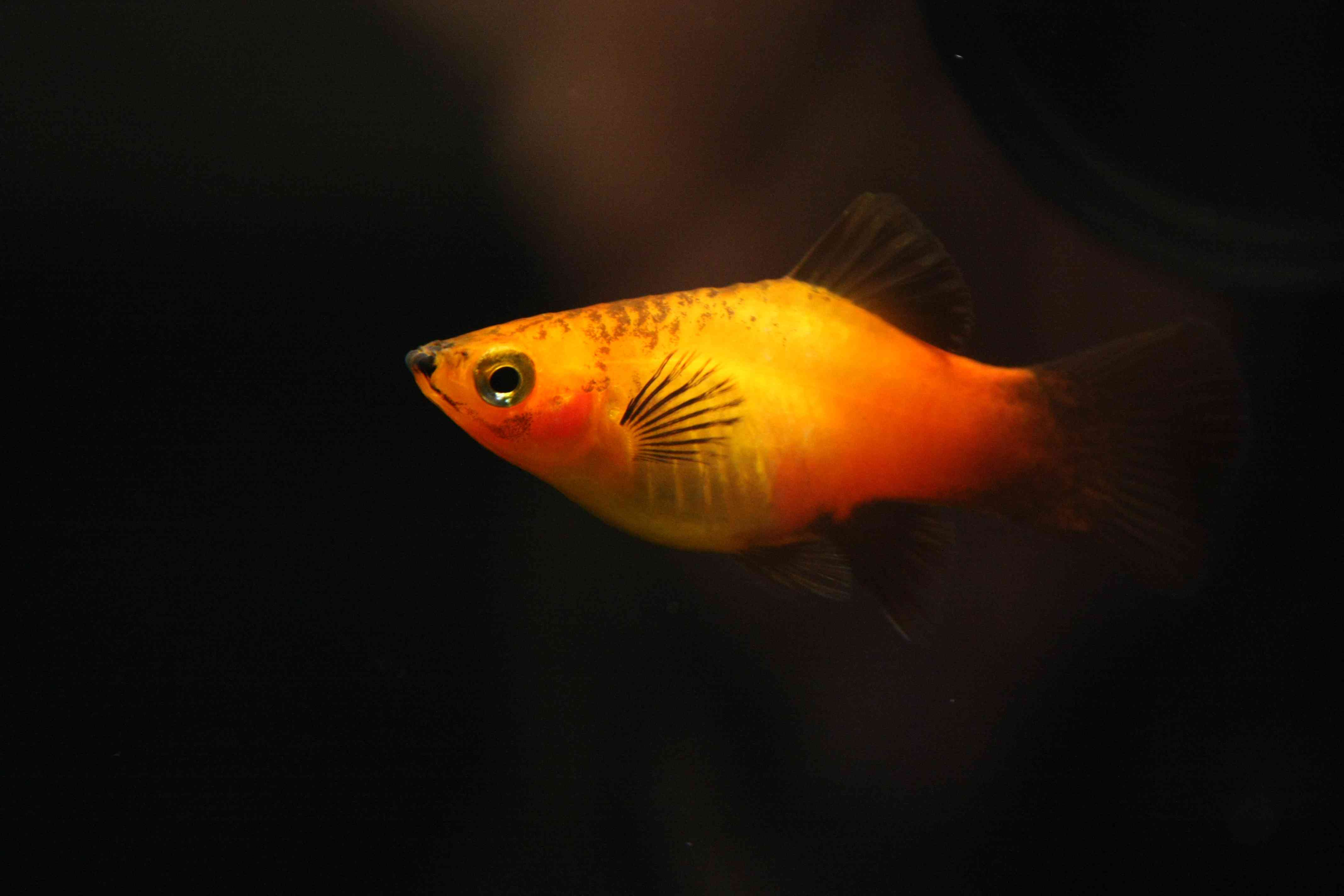 Platy Fish Colors Patterns and Fin Types