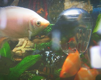 Acclimating aquarium fish from store to the home for Acclimating saltwater fish