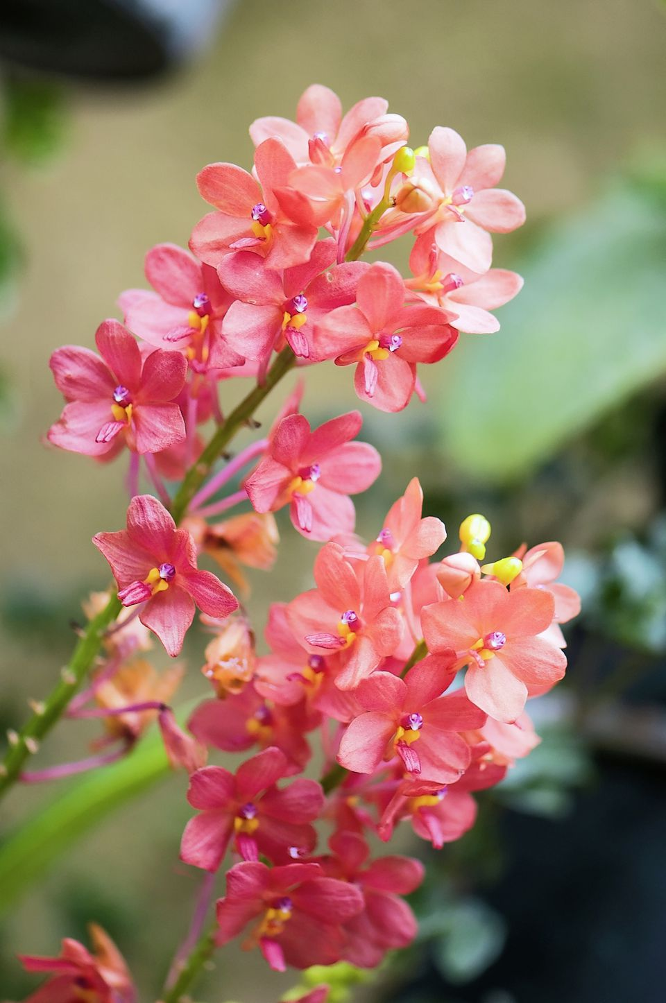 Red ascocentrum orchid